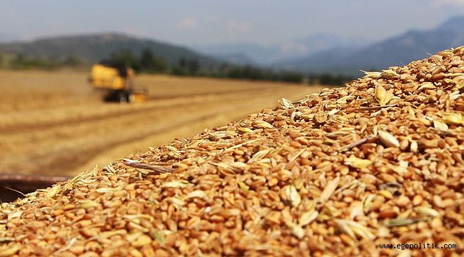 Buğdayda Verim Düşüyor, Çiftçi Endişeli