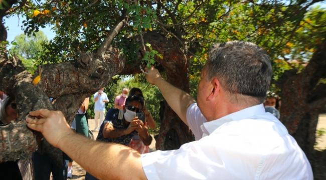 Çeşme sakız üretiminde Sakız Adası'na rakip oluyor!